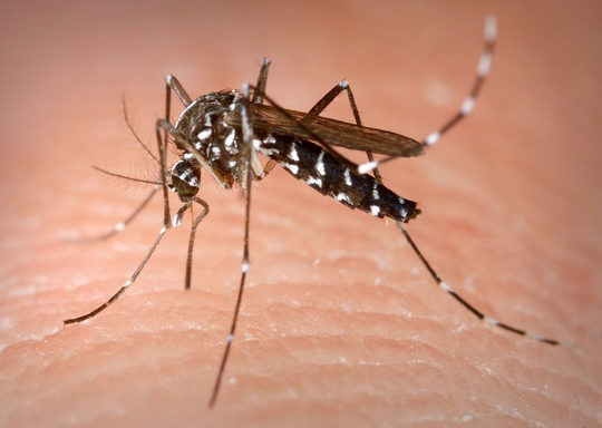 Official warning on Tiger mosquitoes