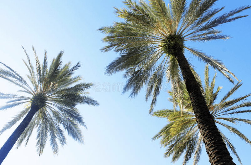Chequered flag for palm trees